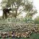 δίχτυα για μάζεμα ελιάς ελληνικής προέλευσης